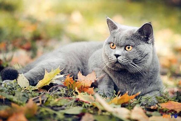 Mèo Anh lông ngắn (British shorthair) được lai từ mèo Ai Cập với các giống mèo khác