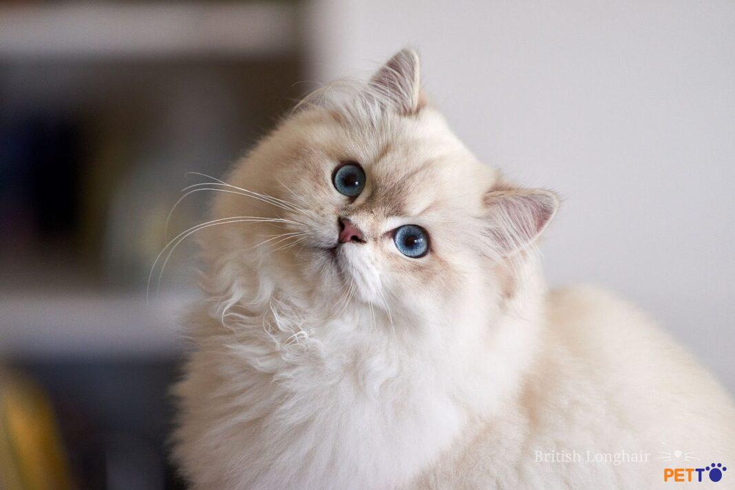 Mèo anh lông dài được lai tạo giữa mèo Ba Tư và mèo Anh lông ngắn.