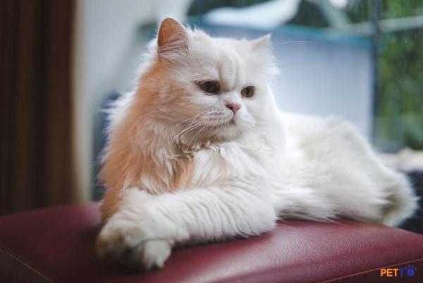 mèo Ba Tư có nguồn gốc từ vương quốc Ba Tư cổ đại