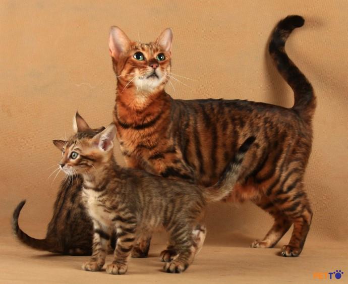 """mèo Toyger thì đơn giản nhất là trong chúng thực sự là một """"tiểu hổ"""""""