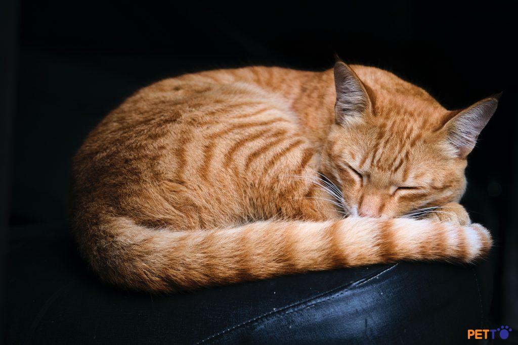 Mèo giả vờ bệnh? Nguyên nhân và cách xử lý