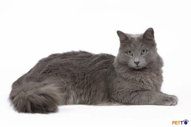 mèo Nebelung có vẻ bề ngoài giống mèo Nga xanh