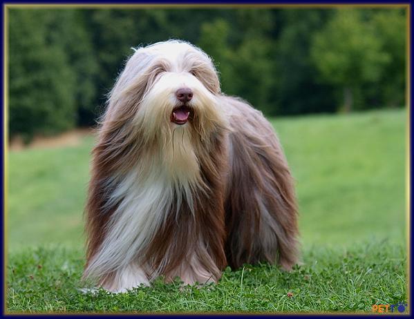 chó chăn cừu râu dài là bộ lông gồm 2 lớp