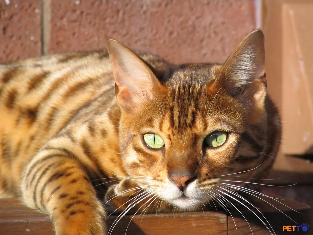 Ocicat là giống mèo khoẻ mạnh, nhìn chung thì chúng ít gặp bệnh