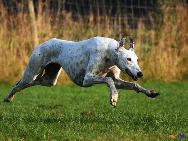 Greyhound là giống chó chạy nhanh nhất thế giới