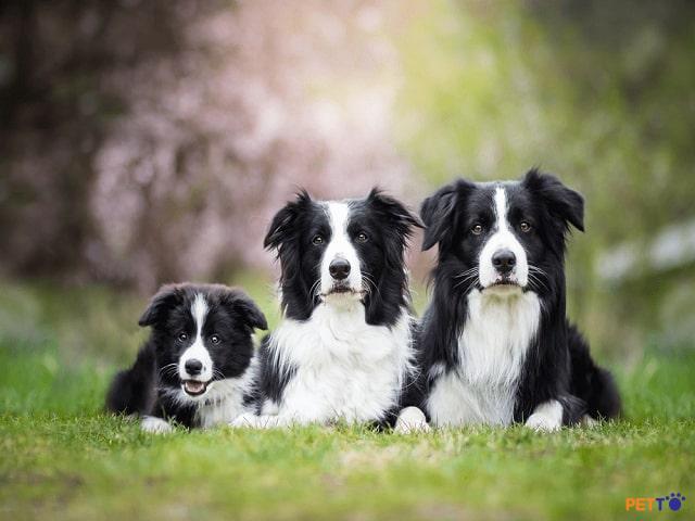 Border Collie nằm trong top 10 giống chó dễ huấn luyện nhất thế giới