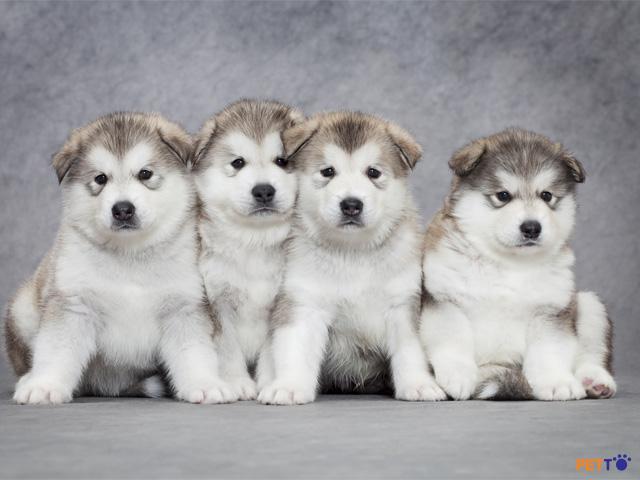 Alaska là giống chó cực kì trung thành