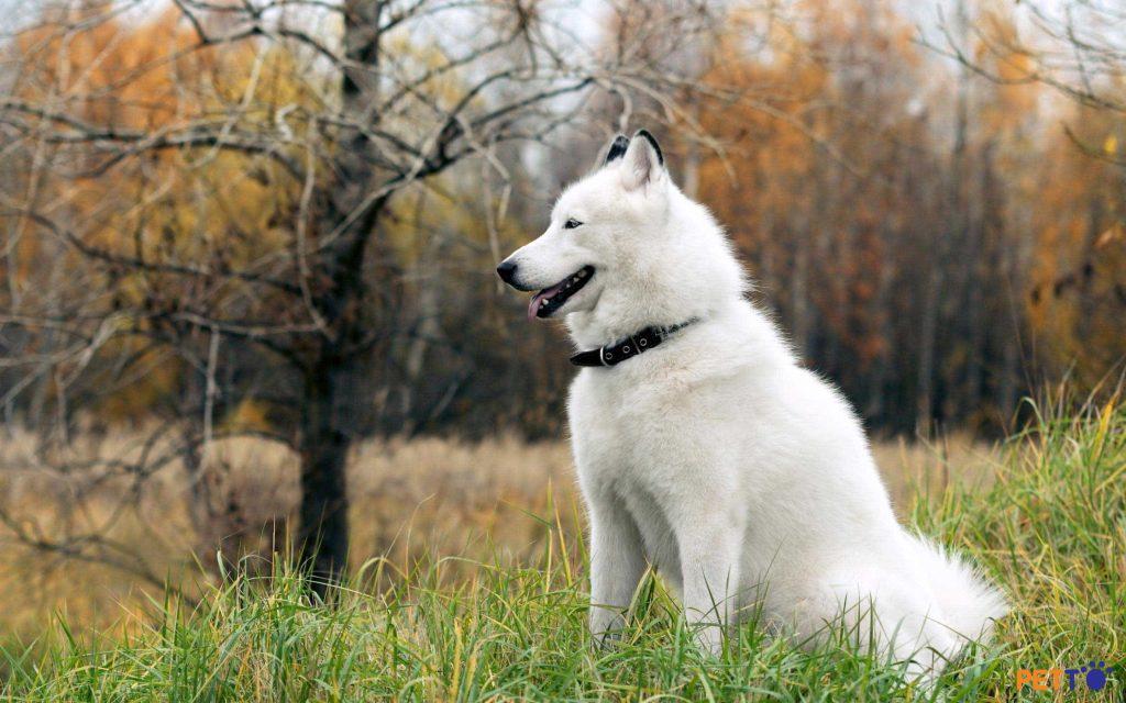 Chó alaska màu trắng tuyết rất hiếm
