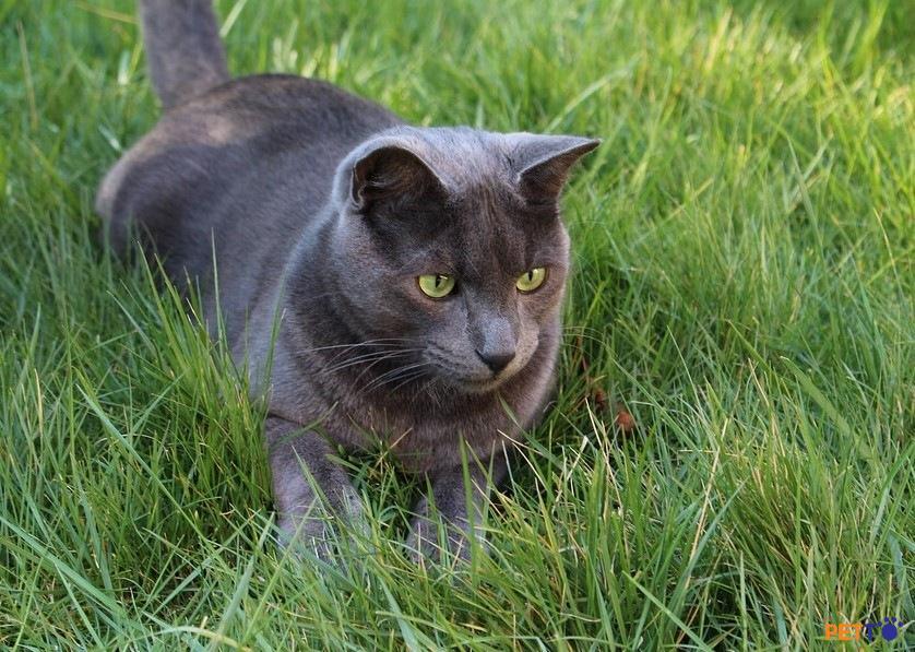 Mèo Korat được coi là bùa may mắn tại Thái Lan