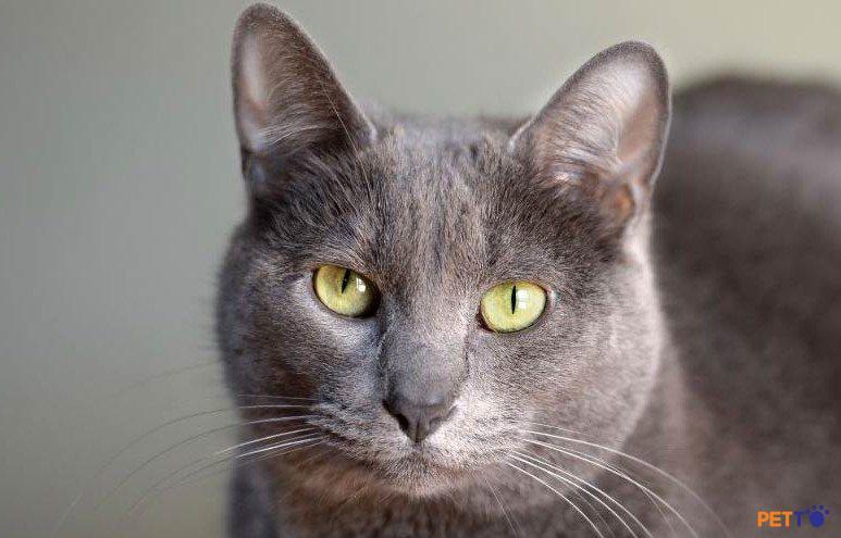Korat cũng thích chơi với giống mèo cùng loài hơn so với giống mèo khác.
