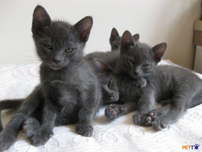 Giống mèo Korat là giống mèo có kích thước trung bình.