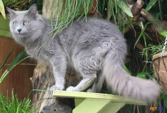 Mèo Nebelung là một giống mèo có kích cỡ trung bình với một thân hình dài và lông dài.