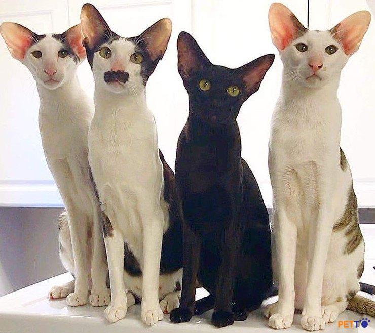 Oriental là giống mèo thông minh