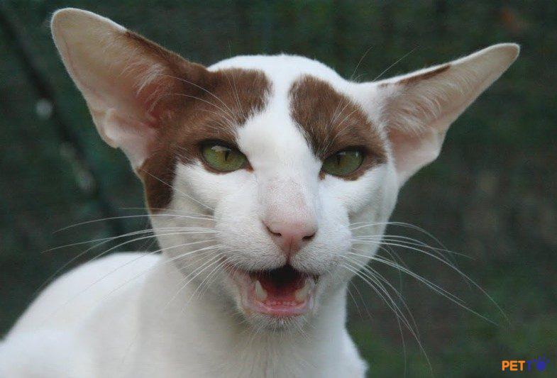 """Mèo oriental ngày nay còn được gọi là """"mèo cầu vồng"""" bởi bộ lông sặc sỡ của chúng."""