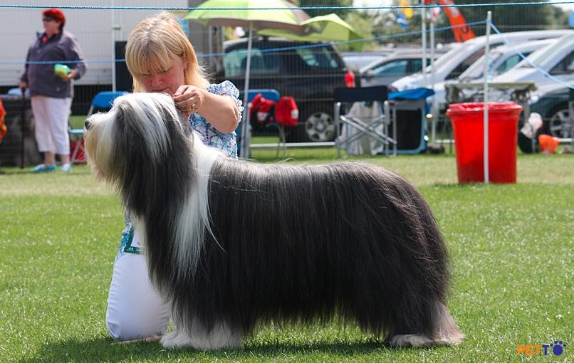 chó chăn cừu râu dài Bearded Collie có nguồn gốc từ vùng Scotland