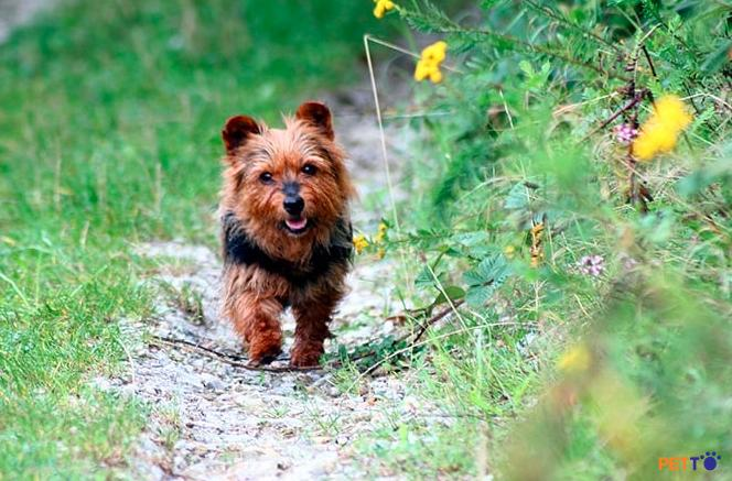 chó sục Úc chính là giống chó bản địa đầu tiên được công nhận ở Úc