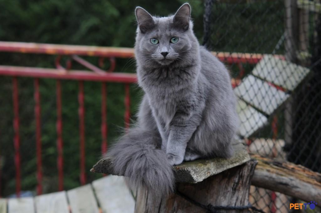 Hình ảnh về chú mèo Nebelung