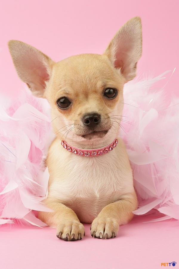 Độ thuần chủng của chó cảnh là điều luôn khiến những người nuôi chó Chihuahua băn khoăn.