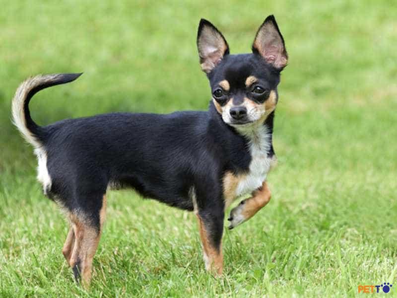 Tên của chú chó Chihuahua được đặt theo tên của bang Chihuahua ở Mexico