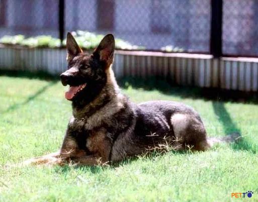 Chó Côn Minh tiêu thụ rất nhiều năng lượng nên chúng thường ăn rất nhiều và không kén ăn