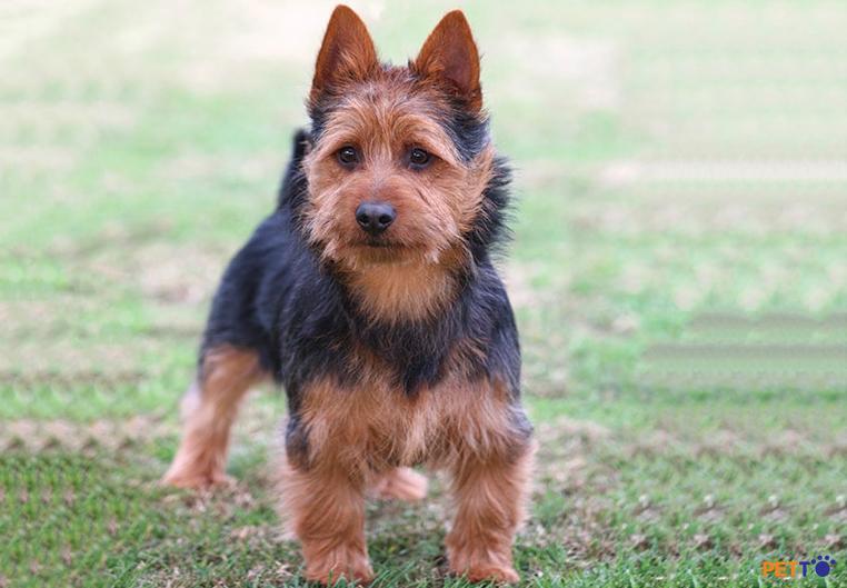 Chó sục Úccó thân hình tuy nhỏ nhắn nhưng rất dũng cảm, nhanh nhẹn và thông minh