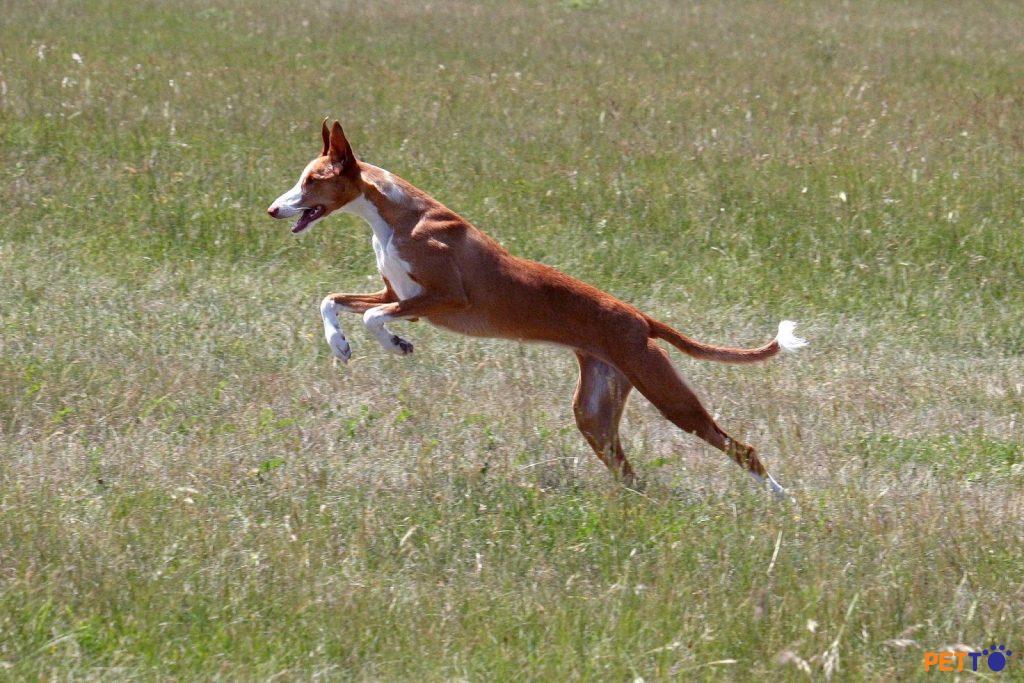 Chó Podenco Ibicenco chia thành hai chủng là lông ngắn và lông xoắn