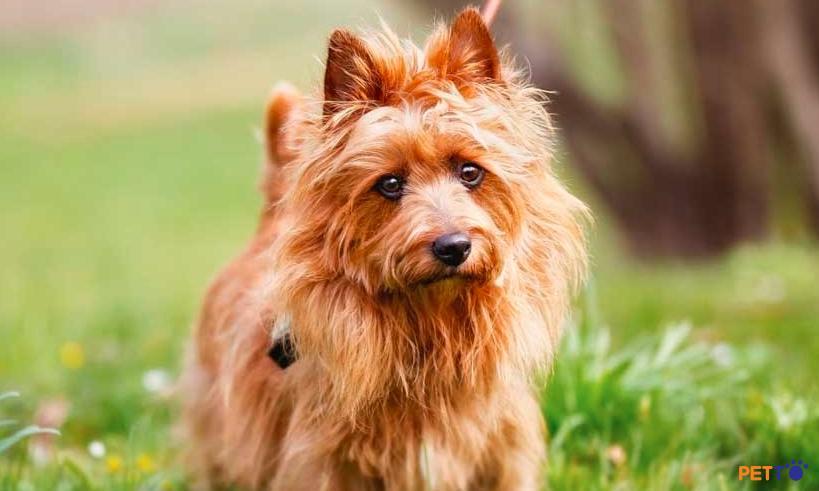 Chó sục Úclà một trong những dòng nhỏ nhất của nhóm chó sục