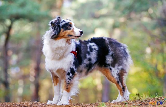 Chó chăn cừu Úc có nguồn gốc từ Hoa Kỳ