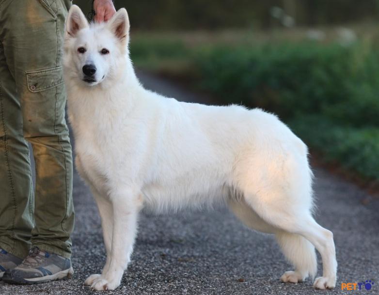 Chó chăn cừu trắng Thụy Sĩ là một giống chó chăn cừu có nguồn gốc từ chó chăn cừu Đức