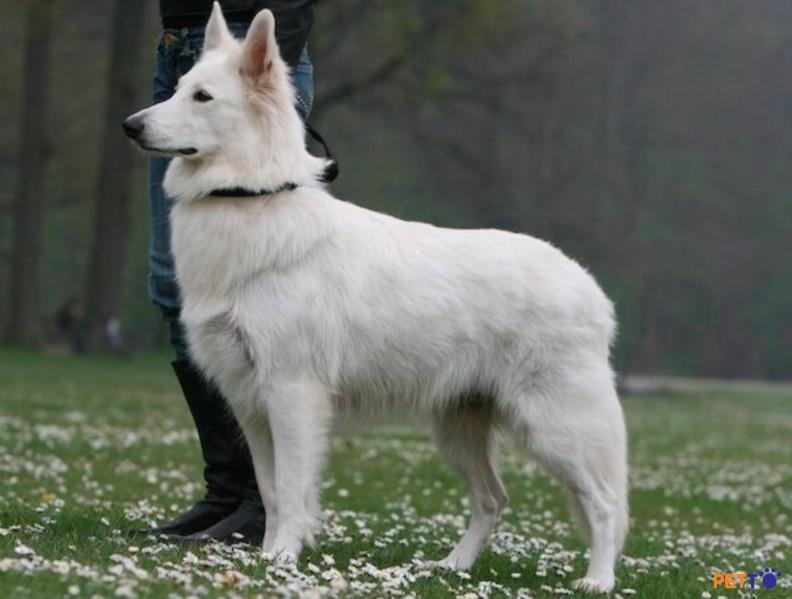 Chó chăn cừu trắng Thụy Sĩ thích nghi với không gian rộng rãi