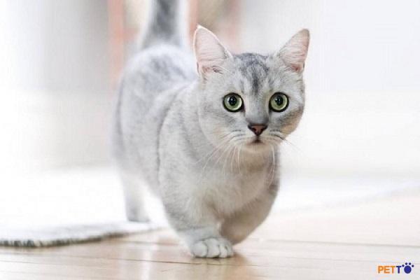 Mèo Munchkin tại Việt Nam hiện nay chủ yếu sinh sản trong nước