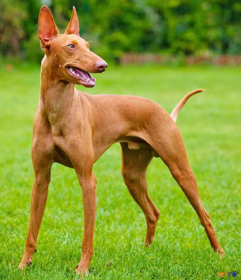 Podenco Ibicenconên được cho ăn bằng thức ăn cho chó chất lượng cao.