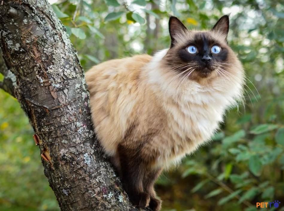 Ở trên thế giới mèo Bali có giá khoảng từ 1000-1500 USD cho một chú mèo con.