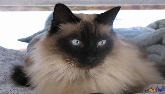 Mèo Bali là giống mèo có thân hình mảnh dẻ, thon dài, nhưng lại có cơ bắp và mạnh mẽ.