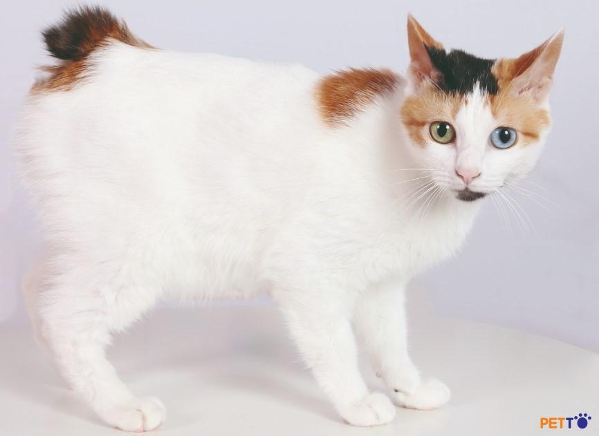 Mèo cọc đuôi  xuất hiện trong nhiều hình thức văn hoá và nghệ thuật tại Nhật Bản.