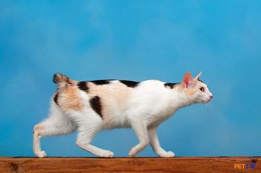 Đuôi của mèo cộc đuôi Nhật Bản là kết quả của đột biến tự nhiên về thân hình của mèo