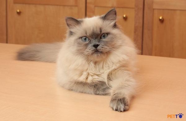 Mèo Himalaya  Là giống mèo kích thước trung bình nhưng bộ lông dày khiến