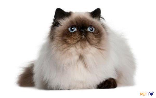 mèo Himalaya cũng yên tỉnh, quý phái, và mang đến cảm giác bình yên.