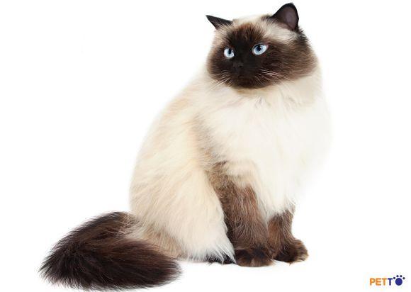 Himalaya là giống mèo lai giữa mèo Ba tư và mèo Xiêm