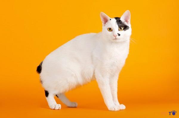 Mèo cộc đuôi Nhật Bản thực ra rất gần với người Việt Nam.