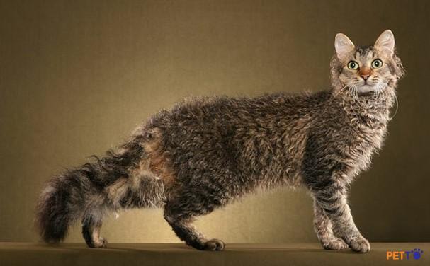 Mèo Selkirk Rex có nguồn gốc từ Montana,  một bang của Hoa Kỳ vào năm 1987