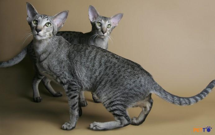 Bản thân mèo oriental cũng là một giống mèo có sự giao thoa của nhiều giống khác nhau.