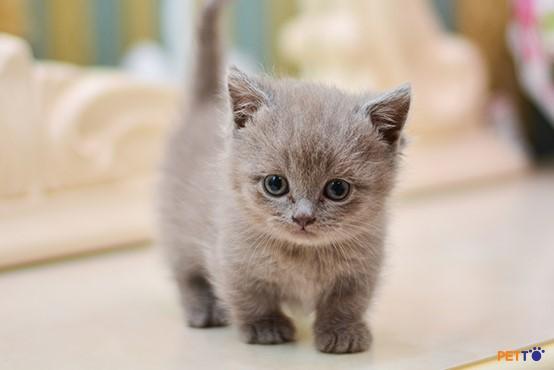 Bạn cần tìm về thói quen quen sinh hoạt, ăn uống của mèo Munchkin.