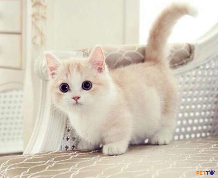Giới sành mèo cảnh hiện nay có xu hướng lựa chọn mèo Munchkin nhập khẩu từ Châu Âu