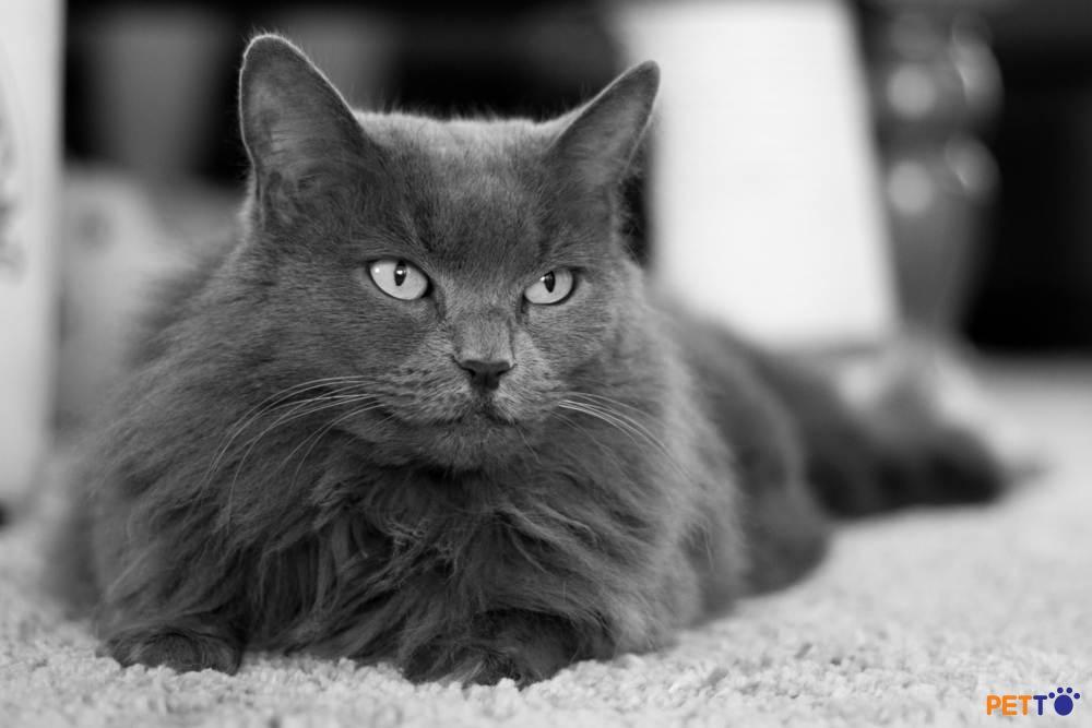 Nebelung là một giống mèo nổi tiếng với sự hiền lành, ít nói và có phần nhút nhát.