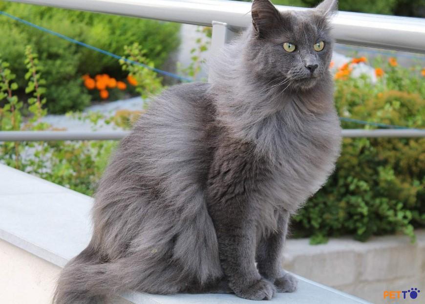 Điểm đặc biệt của Nebelung chính là bộ lông có màu xanh (bạc)