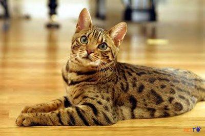Mèo Ocicat cũng có một thân hình trông rất thể thao