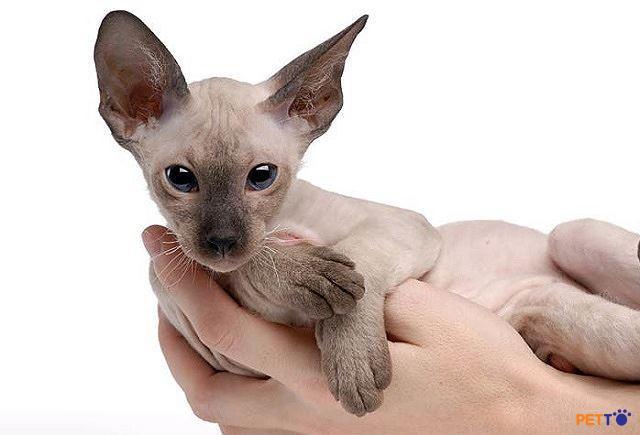 Mèo peterbald có cái đầu dài hẹp, hình tam giác, mắt hạnh nhân, đôi tai to