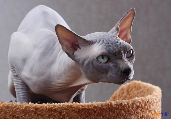 Là giống mèo thông minh, những chú mèo Peterbald rất năng động