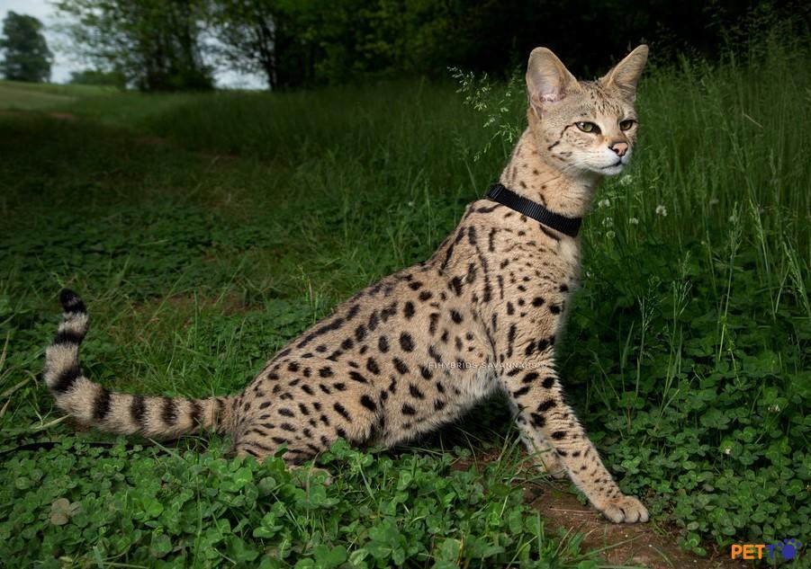 Nếu bạn muốn một chú mèo trông ngầu thì Savannah chắc là sự lựa chọn hàng đầu.